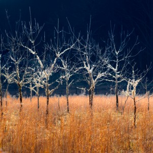 black walnut trees in an orchard with brown grasses