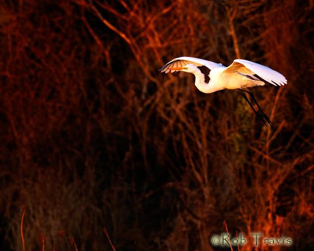 Floating...Egret