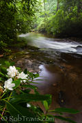 Rose Bay Rhododendron on the Davidson River