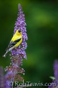 Male goldfinch on Butterfly Bush