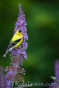 Male goldfinch on Butterfly Bush