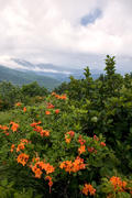 Flame Azalea on Grassy Ridge Bald