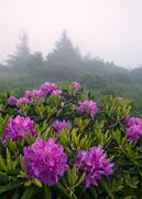 Roan Rhodos on Grassy Ridge Bald