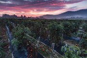 Tomato farm sunrise