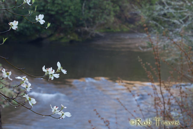 Dogwood and River