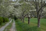 Dogwood Lane Horizontal