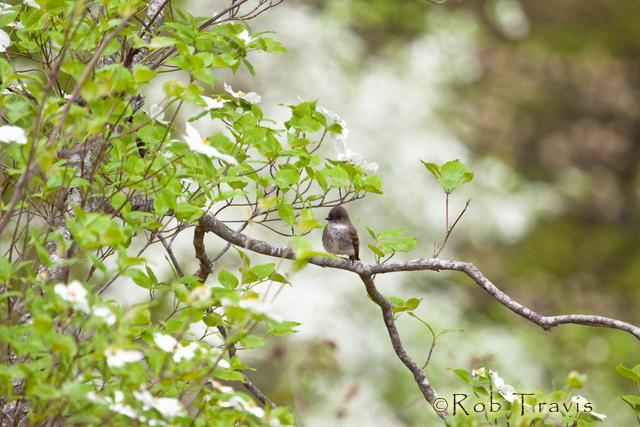Phoebe in Dogwood Tree