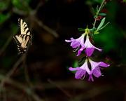 Azalea and Swallowtail