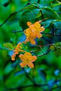 DuPont Forest Azalea