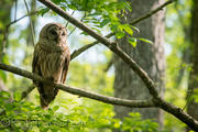 Barred Owl 1