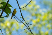 Prothonotary Warbler 1
