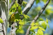 prothonotary warbler 2