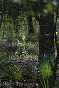 Cypress Swamp Landscape 2