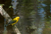 Prothonotary Warbler 7