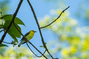 Prothonotary Warbler l
