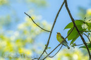 Prothonotary Warbler ll