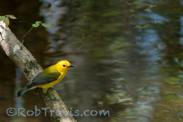Prothonotary Warbler lll