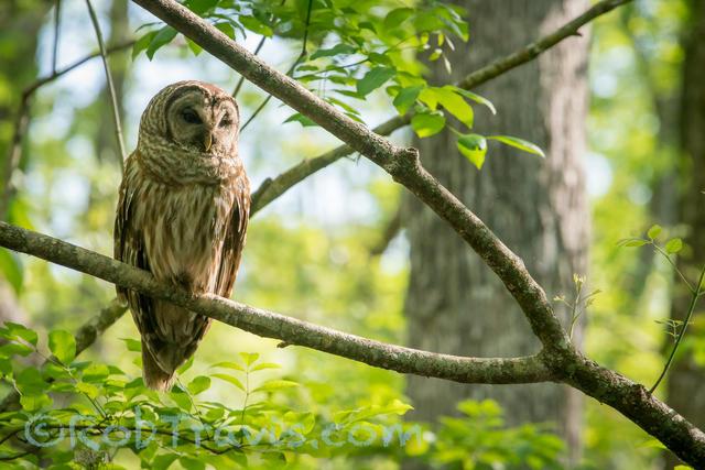 Barred Owl l