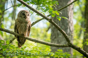 Barred Owl l