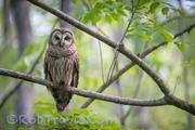 Barred Owl ll
