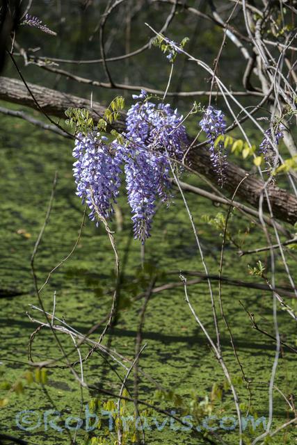 Swamp Wisteria