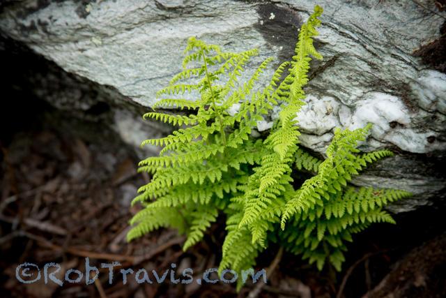 Linville Gorge - Fern and Granite