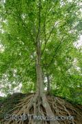 Medusa Tree, Falls Park on the Reedy - Greenville, SC
