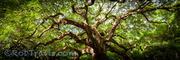 Angel Oak, Charleston - 1:3 Pano