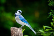 Bluejay in the forest