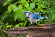 Bluejay looking for food