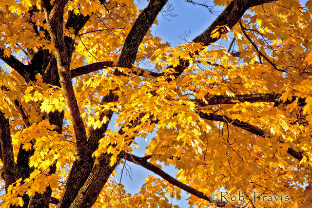 Maple Detail Abstract