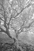 Craggy Beech tree in Black and White