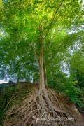 Medusa Tree, Falls Park