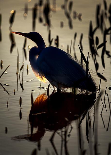 Great Egret in Backlight