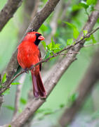 Male Cardinal on Branch - The master at home