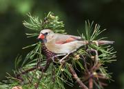 Female Cardinal on Pine Bough