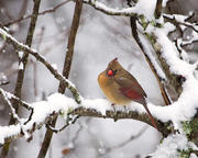 Female Cardinal on Snowy Branch 2