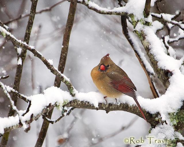 Female Cardinal on Snowy Branch 2