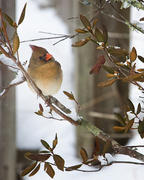Female Cardinal on Snowy Branch 3