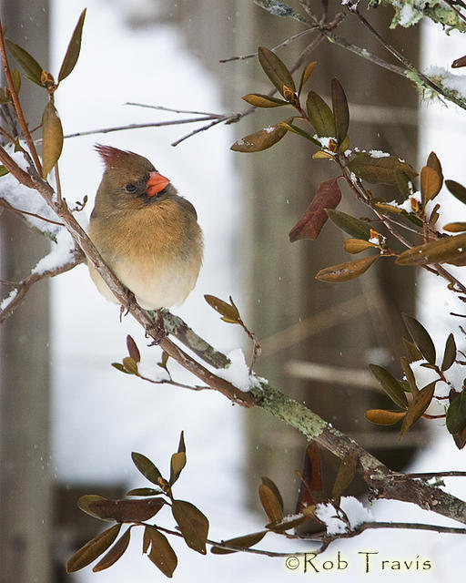 Female Cardinal on Snowy Branch 3