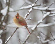 Female Cardinal on Snowy Branch 4