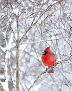 Male Cardinal in Snow