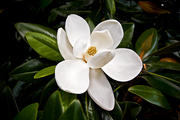 Magnolia Bloom 2
