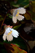 Oconee Bells Pair 1