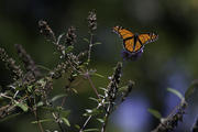 Monarch in the Breeze