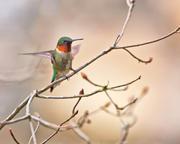 Ruby Throated Hummingbird, Landing