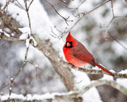 Male Cardinal on Snowy Branch