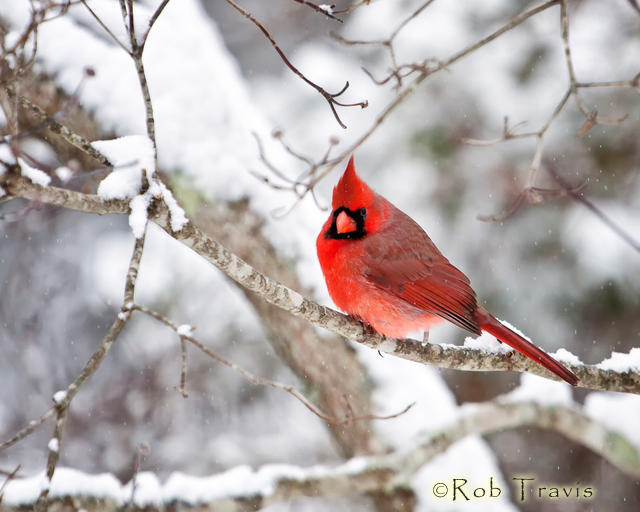 Male Cardinal on Snowy Branch