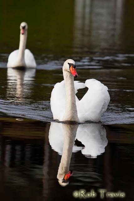 Swan Pair 1