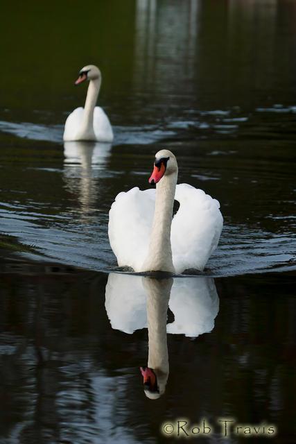 Swan Pair 2